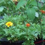 Photo of marigolds planted with tomatoes, as an example of companion planting.