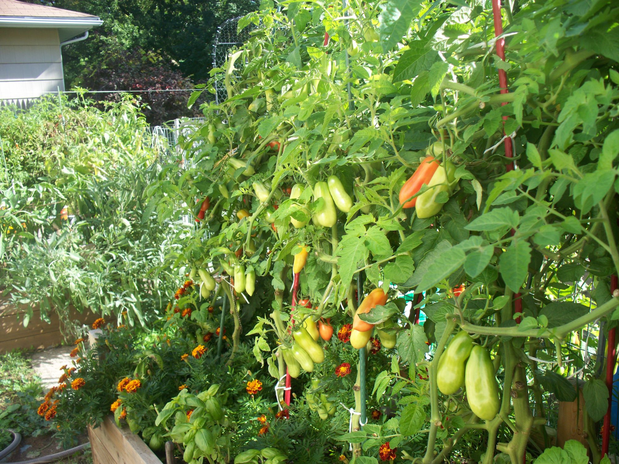Photo Of Tomatoes In Raised Bed.