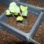 Seedling placed in soil.