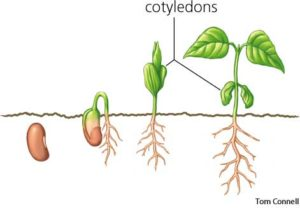 For transplanting seedlings, this picture shows the right stage of a seedlings growth including the cotyledons and first true leaves.