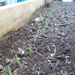 Early Spring peas sprouting in the raised bed.
