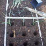 Leek seedlings placed in 9 holes per square foot in garden.