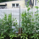 Pea plant growth after hanging cloth on the outside of the fence.