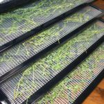 Thyme spread out on drying trays.