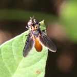 Tachinid fly.