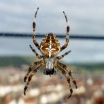 Common garden spider.