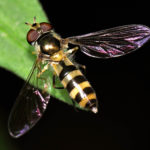 hoverfly.
