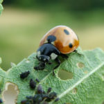 Lady bug eating aphids/