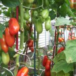 Tomatoes ripening on the vines.